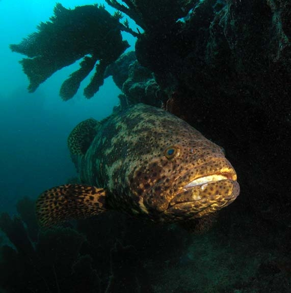 goliath-grouper-07nov03-028-copy