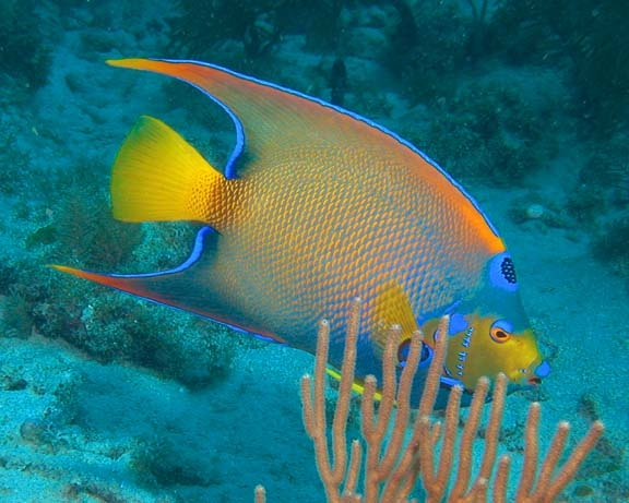 queen-angelfish-15sep03-037