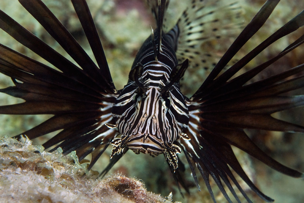 red-lionfish-26aug10-0110